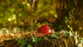 Red apple on the stump in the forest with blurred background stock image