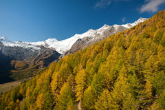 Autumn colors of the forest in Saas Fee. Colorful autumn of the forest above Saas Fee, Switzerland royalty free stock images