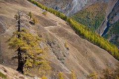 Autumn colors of forest in Saas Fee, Switzerland Royalty Free Stock Photography