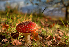 Autumn colors in a forest with toadstool Royalty Free Stock Image