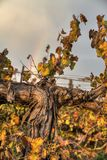 Autumn colors grapes vine growing in a field in israel, in front of a beautiful rainbow royalty free stock images