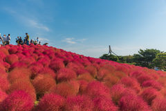 Autumn colors in Hitachi seaside park ,Ibaraki,Japan Stock Images