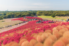 Autumn colors in Hitachi seaside park ,Ibaraki,Japan Royalty Free Stock Photo