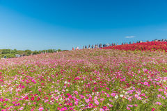 Autumn colors in Hitachi seaside park ,Ibaraki,Japan Royalty Free Stock Images