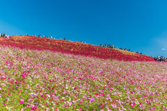 Autumn colors in Hitachi seaside park ,Ibaraki,Japan Stock Photo