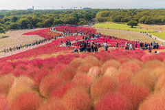 Autumn colors in Hitachi seaside park ,Ibaraki,Japan Stock Photography
