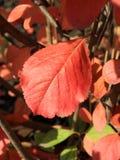 Autumn Colors Hoja roja del chokeberry Foto de archivo libre de regalías