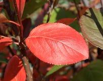Autumn Colors Hoja roja del chokeberry Imagenes de archivo