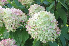 Autumn fall colors Hydrangea Limelight Paniculata, Netherlands Stock Images
