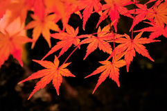 Autumn Colors in Kyoto. Autumnal orange and red colors of Japanese maple leaves at Kiyomizu-dera temple in Kyoto, Japan stock image