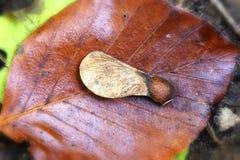Autumn colors - Leaf - Maple Fruit Stock Photography