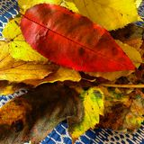Autumn colors on leaves Stock Image