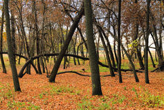 Autumn colors. Magic forest. Energy field in the forest. Leaning trees. Hungarian countryside. Stock Photos