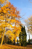 Autumn colors of maple tree Royalty Free Stock Photos