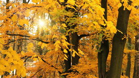 Autumn colors. On maple tree falling leaf and sun stock video
