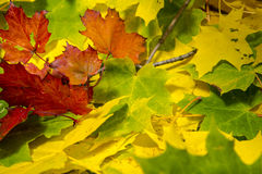 Autumn leafs. Marple leafs in autumn colors Royalty Free Stock Photos