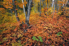 Autumn colors in Michigan forest Royalty Free Stock Photo