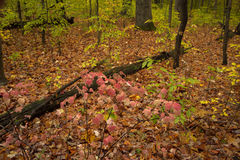 Autumn colors in midwest state park. Vivid autumn colors in a Indiana state park Royalty Free Stock Image