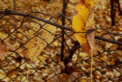 Autumn colors of nature. Seasonal color and fallen autumn leaves on a fence Stock Photo