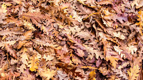 Autumn colors, Oak dry leaves background Royalty Free Stock Photo