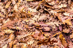Autumn colors, Oak dry leaves background Stock Image