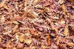 Autumn colors, background of dried Oak leaves  Stock Images