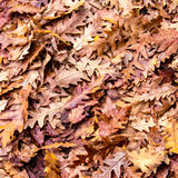 Autumn colors, Oak dry leaves background Stock Photography