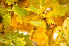Autumn colors of oak leaves Stock Image