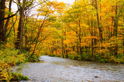 Autumn Colors of Oirase River Stock Images