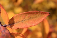Autumn colors. Orange leaf of honeysuckle Royalty Free Stock Image