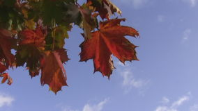 Autumn colors. Autumn.Orange, red, yellow and green leaves swinging in the blue sky stock video footage