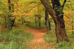 Autumn colors and path. Temperate forest in autumn with colourful trees and path Royalty Free Stock Image