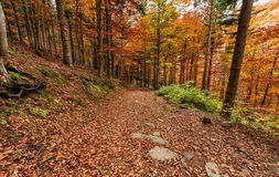 Autumn colors, path  in the forest in the fall season. Royalty Free Stock Images