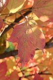 Autumn colors. Pink leaf of viburnum Stock Images
