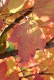 Autumn colors. Pink leaf of viburnum Stock Images
