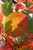 Autumn colors. Red and green leaf of chokeberry Stock Image
