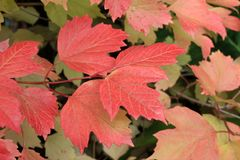 Autumn colors. Red and green leaves of viburnum Royalty Free Stock Images