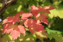 Autumn colors. Red and green leaves of viburnum Royalty Free Stock Photo