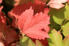 Autumn colors. Red and green leaves of viburnum Stock Photography