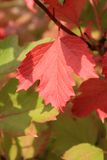 Autumn colors. Red and green leaves of viburnum Stock Image