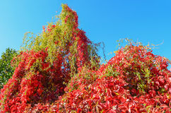 Autumn colors.Red green wild grapes Royalty Free Stock Image