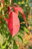 Autumn colors. Red  leaf against green background Royalty Free Stock Photography