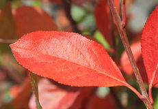 Autumn colors. Red leaf of chokeberry Stock Photo