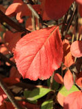 Autumn colors. Red leaf of chokeberry Royalty Free Stock Photo