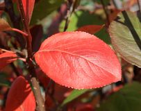 Autumn colors. Red leaf of chokeberry Stock Images
