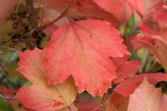 Autumn colors. Red leaf of viburnum Royalty Free Stock Photography