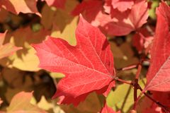Autumn colors. Red leaf of viburnum Stock Photography