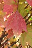Autumn colors. Red leaf of viburnum Royalty Free Stock Photo