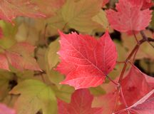 Autumn colors. Red leaf of viburnum Royalty Free Stock Photos