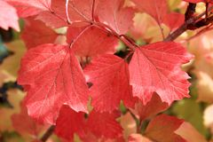 Autumn colors. Red leaves of viburnum Stock Photos